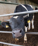 Eine Kuh auf einem Bauernhof Ein Abschluss oben des Kopfes einer Kuh Lizenzfreies Stockbild