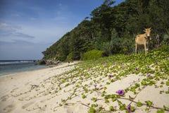 Eine Kuh auf einem leeren Strand in Aceh, Indonesien Stockfotografie