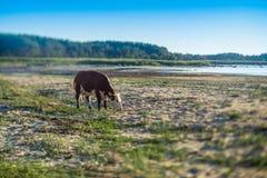 Eine Kuh auf einer Weide durch das Meer Junge Erwachsene n Stockfotos