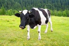 Eine Kuh auf Wiese in den Bergen Stockfoto