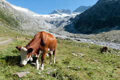 Eine Kuh in den Alpen Stockfotos