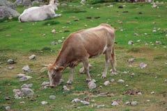Eine Kuh, die auf einem Feld weiden lässt Lizenzfreies Stockfoto