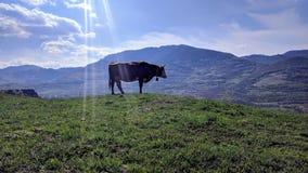 Eine Kuh, die für mein Bild, in Siebenbürgen, Rumänien, nahe bei rimetea aufwirft stockfotografie