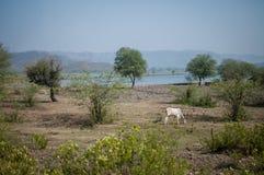Eine Kuh, die Gras isst Stockbilder