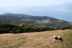Eine Kuh, die Gras, Landschaftsfoto isst Stockbild