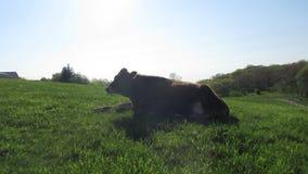 Eine Kuh, die sein wiedergekäutes Futter in einer üppigen grünen Weide kaut stock footage