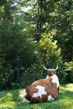 Eine Kuh in einem Holz Lizenzfreie Stockfotografie