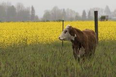 Eine Kuh in einer Wiese durch ein Feld der Rübe blüht Stockfoto