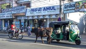 Eine Kuh geht zufällig hinunter die Hauptstraße von Jaffna in Sri Lanka Ende des Nachmittages Lizenzfreie Stockfotografie