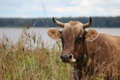 Eine Kuh im Gras Stockbild
