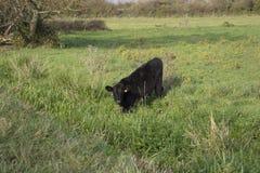 Eine Kuh lässt auf üppigem Gras in Somerset England weiden Stockfotografie