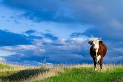 Eine Kuh lässt in einer Wiese weiden. Stockbild