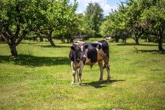 Eine Kuh lässt in einer Wiese weiden Ein Abschluss oben des Kopfes einer Kuh Rustikale Kuh Lizenzfreies Stockbild