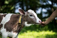 Eine Kuh lässt in einer Wiese weiden Ein Abschluss oben des Kopfes einer Kuh Rustikale Kuh Lizenzfreies Stockfoto