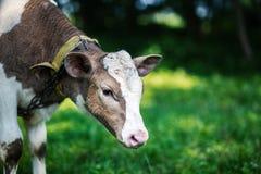 Eine Kuh lässt in einer Wiese weiden Ein Abschluss oben des Kopfes einer Kuh Rustikale Kuh Stockbilder