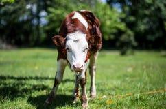 Eine Kuh lässt in einer Wiese weiden Ein Abschluss oben des Kopfes einer Kuh Rustikale Kuh Lizenzfreie Stockfotografie