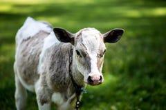 Eine Kuh lässt in einer Wiese weiden Ein Abschluss oben des Kopfes einer Kuh Rustikale Kuh Lizenzfreie Stockfotos