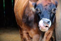 Eine Kuh mit ihrem †‹â€ ‹lecken heraus auf Stockbild