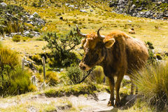 Eine Kuh in Nationalpark Huascaran Lizenzfreies Stockfoto