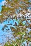 Eine Kurz-ausgewichene Schlange Eagle sitzt auf einem großen Baum im Yala Nationalpark Lizenzfreie Stockbilder
