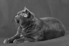 Eine Kurzhaarkatze mit gelben Augen liegt auf einem grauen Hintergrund Lizenzfreies Stockfoto