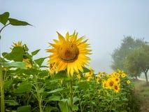 Eine lächelnde Sonnenblume lizenzfreie stockfotos