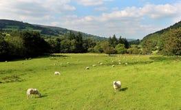 Eine ländliche Landschaft Walisers mit dem Weiden lassen von Schafen Lizenzfreie Stockfotografie