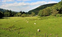 Eine ländliche Landschaft Walisers mit dem Weiden lassen von Schafen Stockfotografie