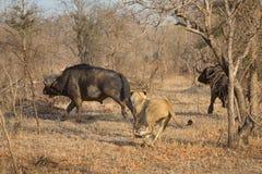 Eine Löwin, die einen Büffel jagt stockfoto