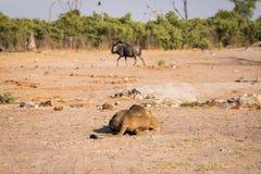 Eine Löwin, die für einen Angriff sich vorbereitet lizenzfreie stockfotografie