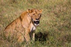 Eine Löwin, die im hohen Gras schwitzt Stockbild