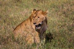 Eine Löwin, die im hohen Gras sitzt Lizenzfreies Stockfoto