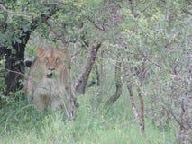 Eine Löwin verstecken sich im Busch stockbild