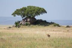 Eine Löwin versteckt im Gras, auf der Jagd Lizenzfreie Stockfotos