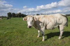 Eine Landschaft mit einer Kuh im Vordergrund Stockbild