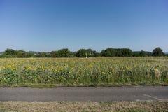 Eine Landschaft von Sonnenblumenbauernh?fen nahe der Stadt von Tubingen, wenn der Himmel helles Blau ist stockfotografie