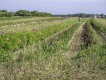 Eine Landschaft von wachsenden Blumen eines Bauernhofes im Juli auf Nantucket stockbilder
