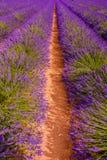 Eine lange Schlange des Lavendels Stockfotografie