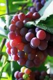 Eine lange Schnur von purpurroten Trauben Lizenzfreies Stockfoto