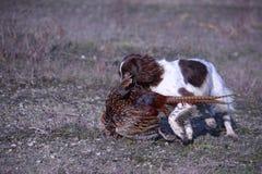 Eine Leber und ein weißes Arbeiten schreiben Spaniel-Haustierjagdhund des englischen Springers Stockbild