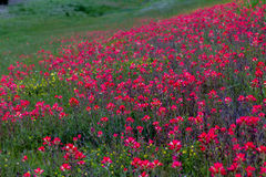Eine Leuchtorange-Decke von Inder Painbrush-Wildflowers in Oklahoma. Lizenzfreie Stockbilder