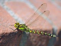 Eine Libelle Stockbilder