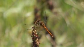 Eine Libelle Lizenzfreie Stockfotos