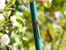 Eine Libelle aalt sich in der Sonne Lizenzfreie Stockbilder