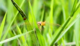 Eine Libelle, die auf einem kleinen Gras landet lizenzfreie stockfotos