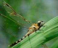 Eine Libelle, die auf Grasblatt stillsteht Stockbilder
