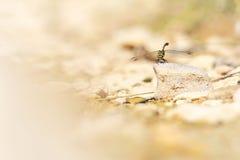 Eine Libelle, die Land auf einem Felsen ist stockbilder