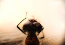 Eine Libelle mit einem roten Bauch und großen facettierten Augen Makro Stockfoto