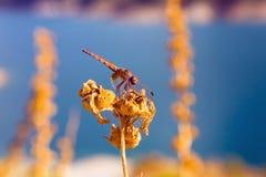 Eine Libelle sitzt auf einer getrockneten Anlage Lizenzfreies Stockfoto