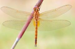 Eine Libellennahaufnahme Stockfoto